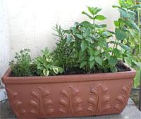 Herb_garden_1